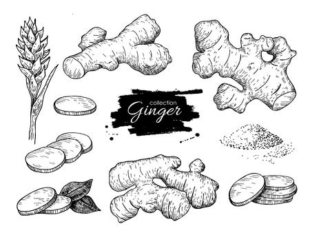 Wektor ręcznie rysowane zestaw imbiru. Korzeń, kawałki imbiru i kwiatu. Ilustracja grawerowane stylu. Ziołowa przyprawa. Detox pokarm.