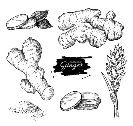 detox: Vector hand drawn Ginger set. Root, ginger pieces and flower. Engraved style illustration. Herbal spice. Detox food ingredient.