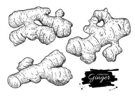 establece la mano del vector dibujado raíz de jengibre. Ilustración grabada estilo. especias a base de hierbas. ingrediente alimentario de desintoxicación.
