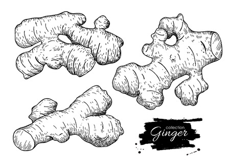 Vector hand drawn Ginger root set. Engraved style illustration. Herbal spice. Detox food ingredient.