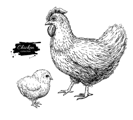 baby chick: Vector vintage hand drawn chicken and baby chick. Engraved  illustration. Rural natural bird farming. Poultry business. Great for  label or poster