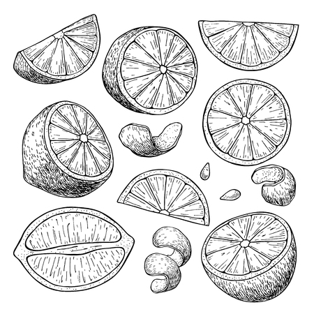 citrus tree: Vector hand drawn lime or lemon set. Whole lemon, sliced pieces, half, leafe and seed sketch. Tropical summer fruit engraved style illustration. Detailed citrus drawing. Great for water, juice, detox drink, natural cosmetics