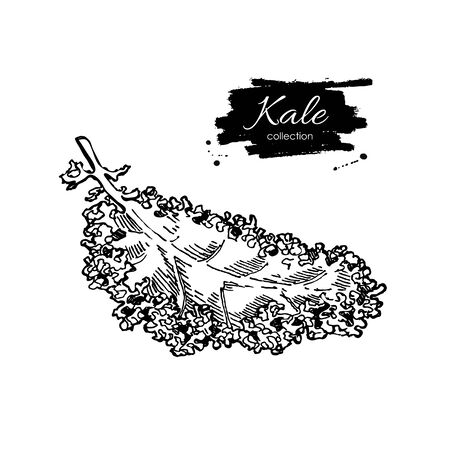 Kale hand drawn vector illustration. Vegetable engraved style illustration. Isolated Kale. Detailed vegetarian food drawing. Farm market product.