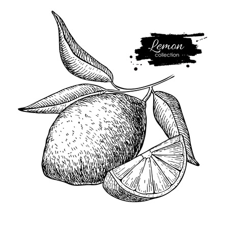 Vector hand drawn lemon or lime fruit with  leaves on branch. Tropical summer fruit engraved style illustration. Detailed citrus drawing. Great for water, juice, detox drink, natural cosmetics