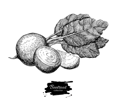 Beetroot hand drawn vector. Vegetable engraved style illustration. Isolated Beetroot and sliced pieces. Detailed vegetarian food drawing. Farm market product.