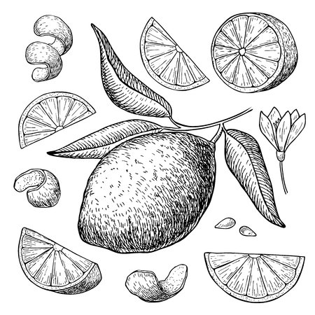 lime: Vector hand drawn lime set. Whole lime, sliced pieces, half, leafe and seed sketch. Tropical summer fruit engraved style illustration. Detailed citrus drawing.
