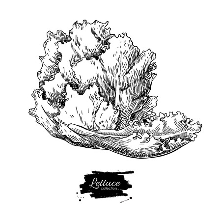 romaine lettuce: Lettuce hand drawn vector illustration. Vegetable engraved style illustration. Isolated Lettuce salad. Detailed vegetarian food drawing. Farm market product.