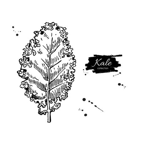 kale: Kale hand drawn vector illustration. Vegetable engraved style illustration. Isolated Kale. Detailed vegetarian food drawing. Farm market product.