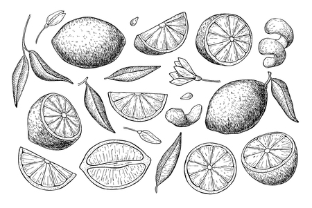 Vector hand drawn lemon set. Whole lemon, sliced pieces, half, leafe and seed sketch. Tropical summer fruit engraved style illustration. Detailed citrus drawing. Great for tea, juice, lemon water Ilustração