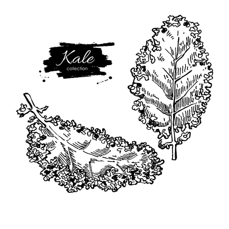 Kale hand drawn vector set. Vegetable engraved style illustration. Isolated Kale. Detailed vegetarian food drawing. Farm market product.