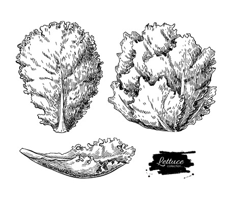 romaine lettuce: Lettuce hand drawn vector illustrations set. Vegetable engraved style illustration. Isolated Lettuce salad. Detailed vegetarian food drawing. Farm market product.