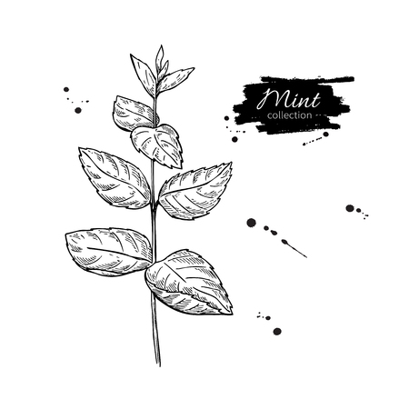 isolated ingredient: Mint vector drawing. Isolated mint plant with leaves. Herbal engraved style illustration. Detailed organic product sketch. Cooking spicy ingredient Illustration