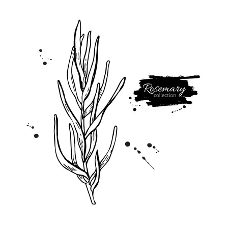 spicy plant: Rosemary vector drawing. Isolated Rosemary plant with leaves. Herbal engraved style illustration. Detailed organic product sketch. Cooking spicy ingredient