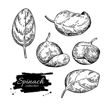 spinach: Spinach leaves hand drawn vector set. Isolated Spinach leaves drawing on white background. Vegetable engraved style illustration. Detailed botanical drawing. Farm market product Illustration