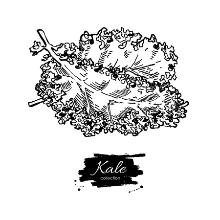 etch: Kale hand drawn vector. Vegetable engraved style illustration. Isolated Kale. Detailed vegetarian food drawing. Farm market product.
