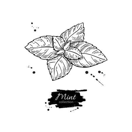 spicy plant: Mint vector drawing. Isolated mint plant and leaves. Herbal engraved style illustration. Detailed organic product sketch. Cooking spicy ingredient