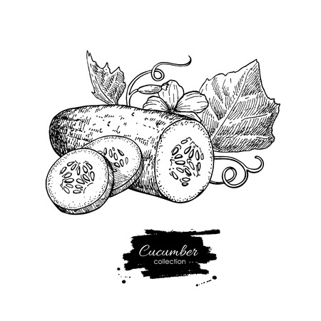 Cucumber hand drawn vector. Isolated cucumber, sliced pieces and plant. Vegetable engraved style illustration. Detailed vegetarian food drawing. Farm market product.