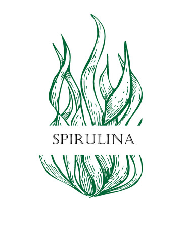 spirulina: Spirulina algae hand drawn vector. Isolated Spirulina algae label on white background. Superfood engraved style illustration. Organic healthy food sketch
