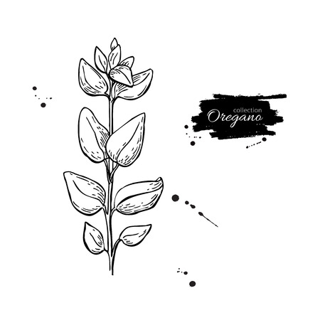 spicy plant: Oregano vector drawing. Isolated Oregano plant with leaves. Herbal engraved style illustration. Detailed organic product sketch. Cooking spicy ingredient Illustration