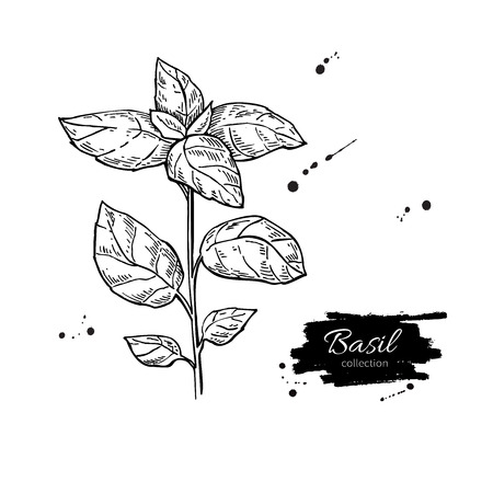 basil: Basil vector drawing. Isolated Basil plant with leaves. Herbal engraved style illustration. Detailed organic product sketch. Cooking spicy ingredient