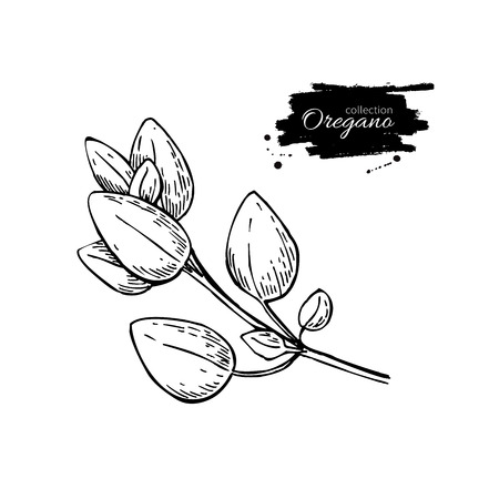 oregano: Oregano vector drawing. Isolated Oregano plant with leaves. Herbal engraved style illustration. Detailed organic product sketch. Cooking spicy ingredient Illustration
