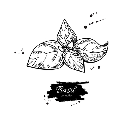 isolated ingredient: Basil vector drawing. Isolated Basil plant with leaves. Herbal engraved style illustration. Detailed organic product sketch. Cooking spicy ingredient