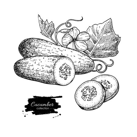 vegetables on white: Cucumber hand drawn vector. Isolated cucumber, sliced pieces and plant. Vegetable engraved style illustration. Detailed vegetarian food drawing. Farm market product.