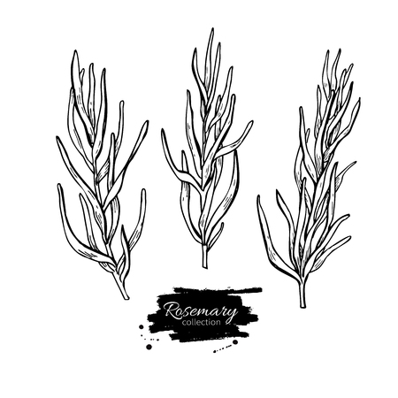 spicy plant: Rosemary vector drawing set. Isolated Rosemary plant with leaves. Herbal engraved style illustration. Detailed organic product sketch. Cooking spicy ingredient