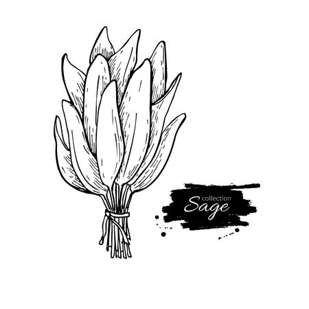 Sage bunch vector drawing. Isolated sage leaves bunch. Herbal engraved style illustration. Detailed organic product sketch. Cooking spicy ingredient  イラスト・ベクター素材