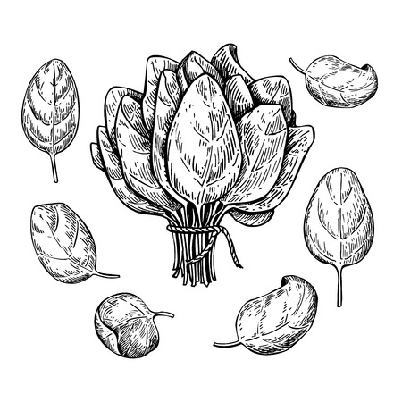Spinach leaves hand drawn vector set. Isolated Spinach leaves drawing on white background. Vegetable engraved style illustration. Detailed botanical drawing. Farm market product Vettoriali