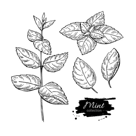 mint leaves: Mint vector drawing set. Isolated mint plant and leaves. Herbal engraved style illustration. Detailed organic product sketch. Cooking spicy ingredient Illustration