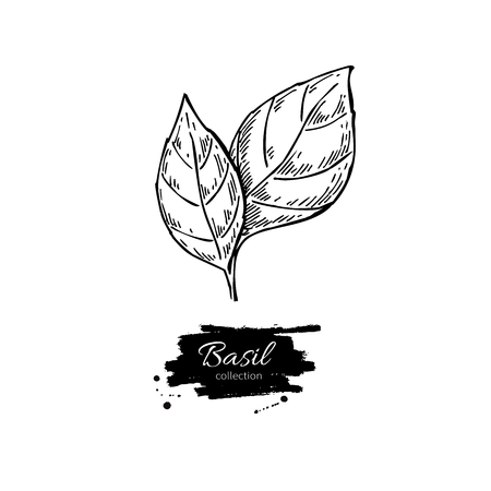isolated ingredient: Basil vector drawing. Isolated Basil leaves. Herbal engraved style illustration. Detailed organic product sketch. Cooking spicy ingredient