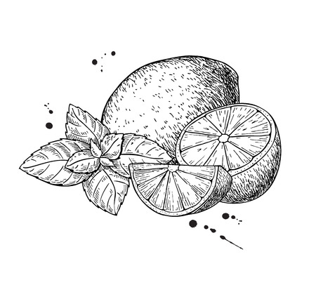 Vector lemons and mint. Isolated on white background. Hand drawn illustration. Whole fruit, sliced piece and leaves drawing. Detailed illustration for mojito drink