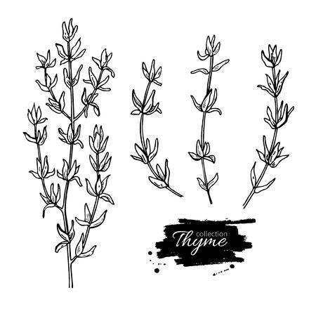 Tymianek Vector rysunek ustawiony. Samodzielnie tymianek roślin i liści. Ziołowy ilustracja grawerowane stylu. Szczegółowy szkic organicznych produktów. Gotowanie pikantny składnik