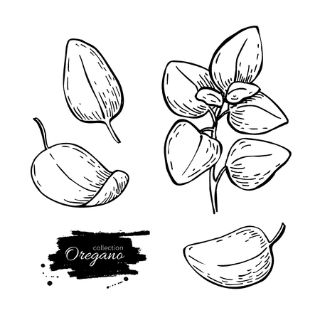 oregano: Oregano set vector drawing. Isolated Oregano plant with leaves. Herbal engraved style illustration. Detailed organic product sketch. Cooking spicy ingredient Illustration