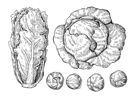 Cabbage hand drawn vector illustrations set. Cabbage, chinese cabbage,brussel sprout. Isolated vegetable engraved style objects.  Detailed vegetarian food drawing. Farm market product.