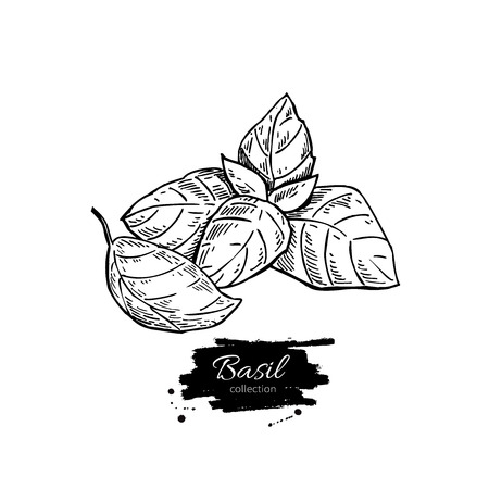 spicy plant: Basil vector drawing set. Isolated plant with leaves. Herbal engraved style illustration. Detailed organic product sketch. Cooking spicy ingredient
