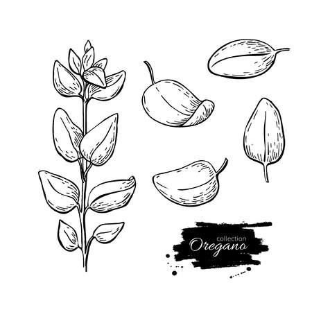 oregano plant: Oregano set vector drawing. Isolated Oregano plant with leaves. Herbal engraved style illustration. Detailed organic product sketch. Cooking spicy ingredient Illustration