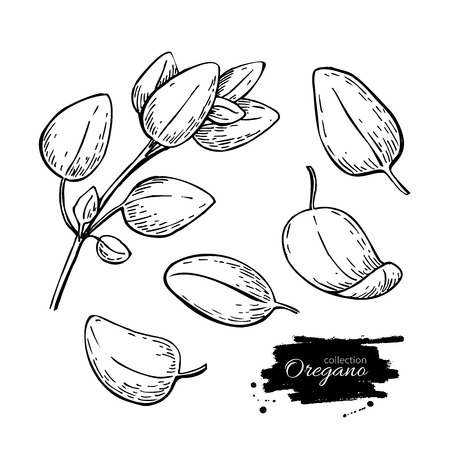 spicy plant: Oregano set vector drawing. Isolated Oregano plant with leaves. Herbal engraved style illustration. Detailed organic product sketch. Cooking spicy ingredient Illustration
