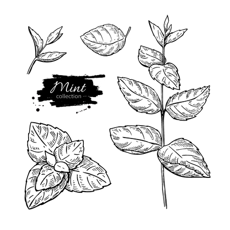 Mint vector drawing set. Isolated mint plant and leaves. Herbal engraved style illustration. Detailed organic product sketch. Cooking spicy ingredient Çizim