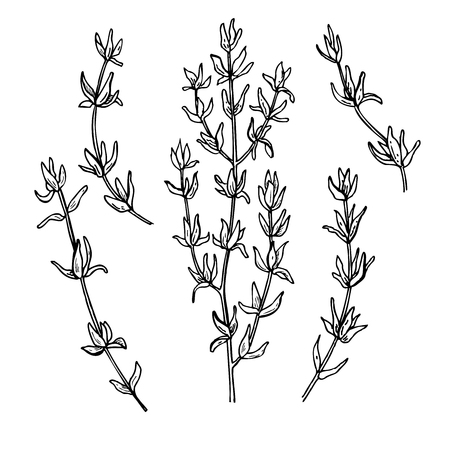 spicy plant: Thyme vector drawing set. Isolated thyme plant and leaves. Herbal engraved style illustration. Detailed organic product sketch. Cooking spicy ingredient Illustration