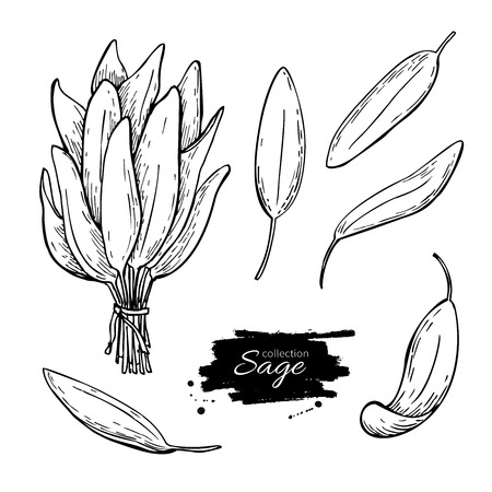 spicy plant: Sage vector drawing set. Isolated sage plant with leaves. Herbal engraved style illustration. Detailed organic product sketch. Cooking spicy ingredient
