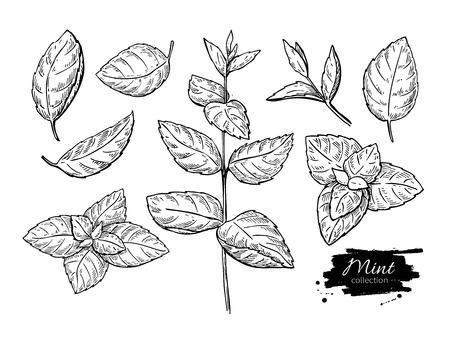 Menta dibujo vectorial conjunto. Aislados planta de menta y hojas. A base de hierbas ilustración de estilo de grabado. Esbozo del producto orgánico detallada. Cocinar ingrediente picante