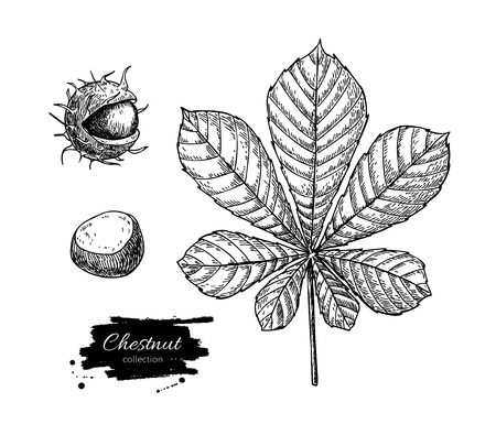 Vector chestnut leaf and nuts drawing set. Autumn elements. Hand drawn detailed botanical illustration. Vintage fall seasonal decor. Great for label, sign, icon, seasonal decor