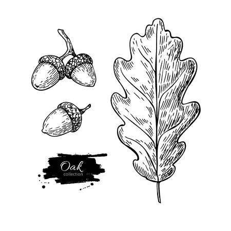 벡터 오크 리프 및 도토리 집합 드로잉입니다. 가 요소입니다. 손으로 자세한 식물 그림을 그려. 빈티지 가을 계절 장식. 레이블, 기호, 아이콘, 계절 장 일러스트