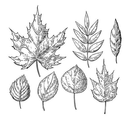 Gráfico del vector del otoño deja establecido. objetos aislados. Dibujado a mano ilustraciones botánicas detalladas. boceto artístico de la hoja. caída de la vendimia decoración de temporada.