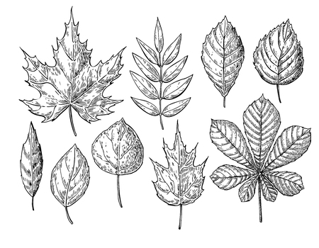 Vector autumn drawing leaves set. Isolated objects. Hand drawn detailed botanical illustrations. Oak, maple, chestnut leaf sketch. Vintage fall seasonal decor.