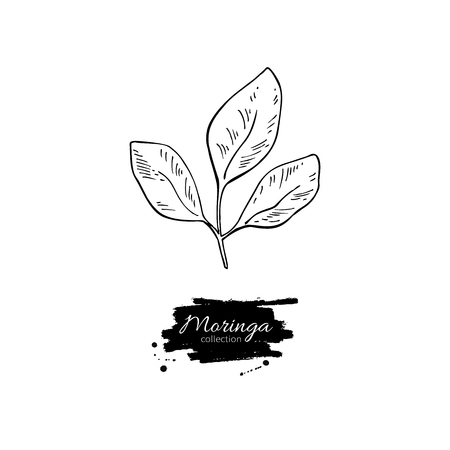Moringa leaves vector superfood drawing. Isolated hand drawn  illustration on white background. Organic healthy food. Great for banner, poster, label, sign Illustration