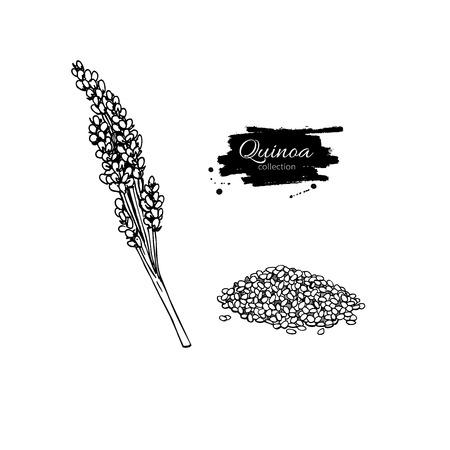 La quinua súper dibujo vectorial. Aislado mano dibuja ilustración sobre fondo blanco. comida sana orgánica. Gran para la bandera, cartel, etiqueta