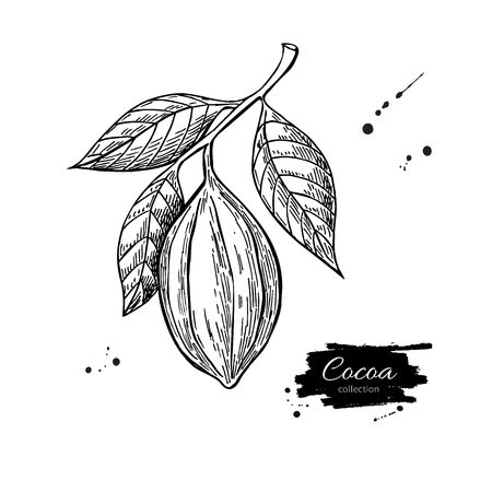 Cocoa branch vector superfood drawing. Isolated hand drawn illustration on white background. Organic healthy food. Great for banner, poster, label